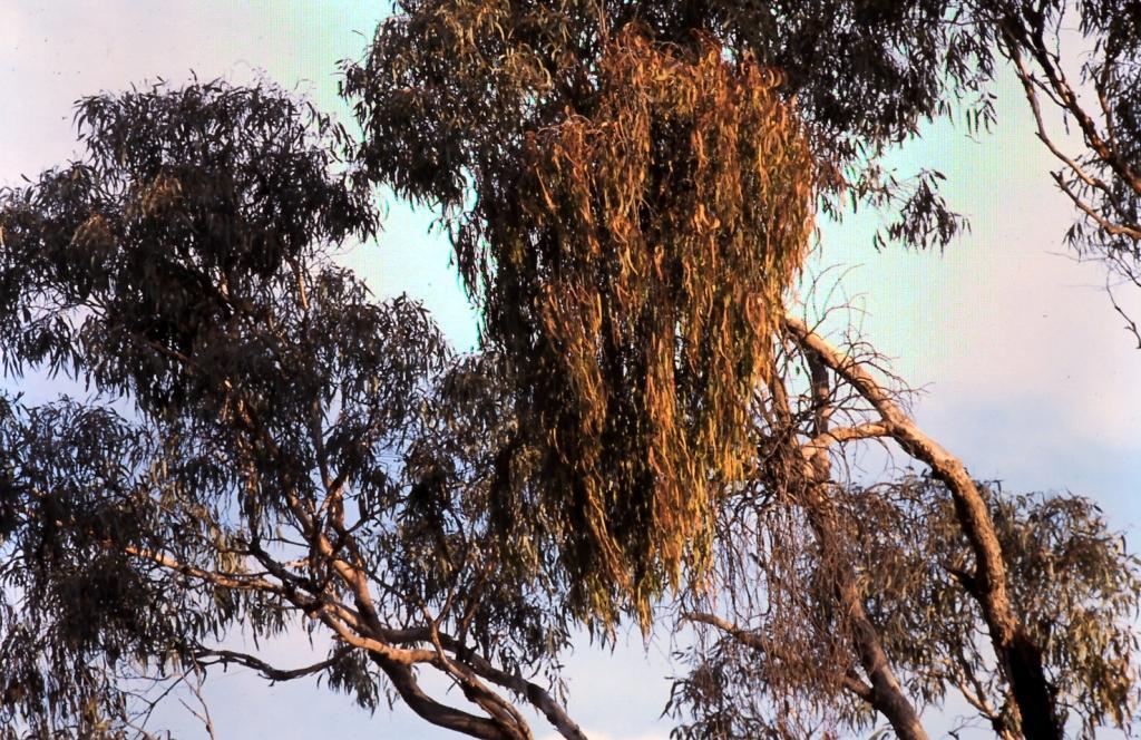 Mistletoe Management David M Watson Ecologist