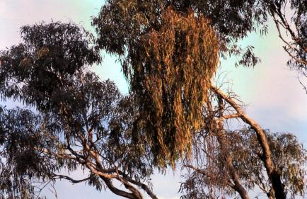 A large box mistletoe in the canopy of a eucalypt.