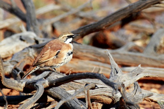 Cinnamon quail thrush photographed during a creekline survey in Sturt National Park.