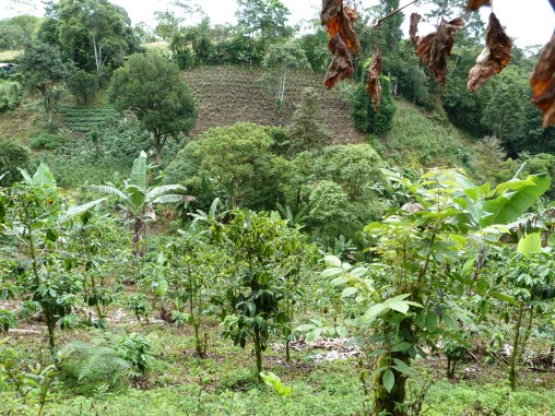 A coffe plantation and market garden in the San Pedro valley of southern Costa Rica