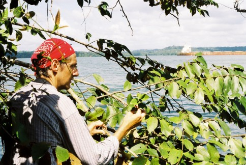 Sampling mistletoe fruits with the Panama canal in the background