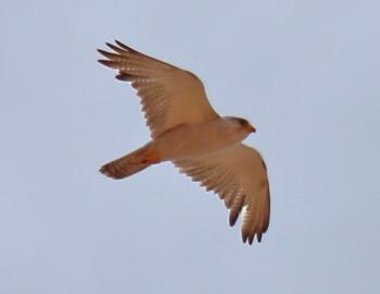 Grey Falcon--photo by Paul Barden