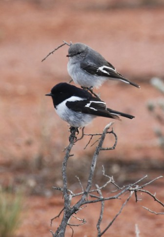 Pair of hooded robins.  Photograph by Tom Rambaut.