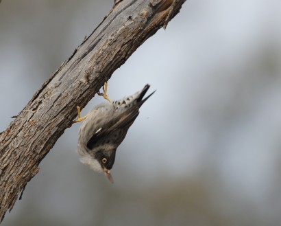 Varied sitella foraging on mulga.  Photograph by Tom Rambaut