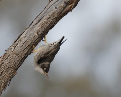 Varied sitella foraging on mulga.  Photograph by Tom Rambaut