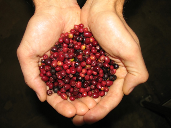 Handful of ripe sandalwood fruit Santalum leptocladum