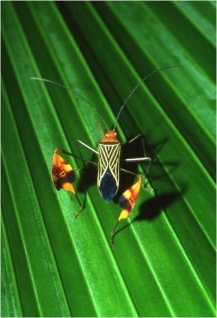 leaf-footed_bug