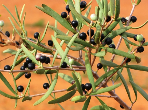 Harlequin mistletoe full of fruit.  Like other Lysiana species, fruit colour is polymorphic, ripening to either red or black.