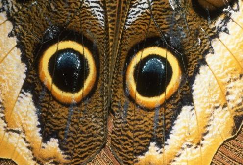 owlbutterfly