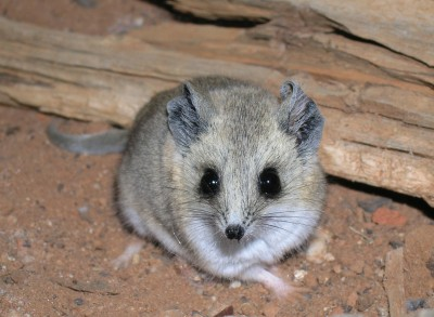 Fat-tailed Dunnart--one of many native animals that would benefit from targeted translocations