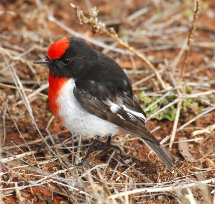 Red-capped robin; photograph by Tom Rambaut.