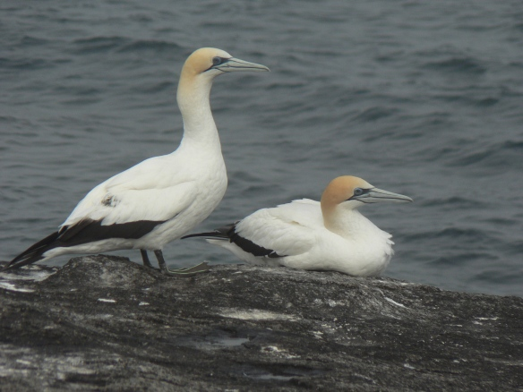 A pair of Australian Gannets on Montague Island--one of the study sites for the acoustic monitoring research